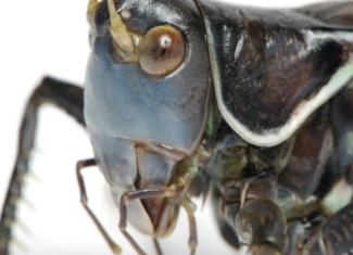 Así oye un robot a través del oído de una langosta